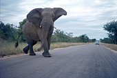 Kruger National Park, South Africa, 1975. An elephant crosses a road in Kruger National Park