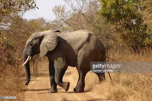 Elephant crossing path