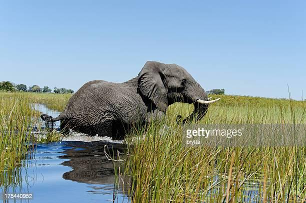 Elephant crossing das Wasser, Xigera Imbiss, Okavango Delta, Botswana