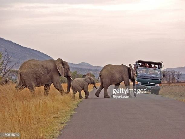 Éléphant famille crossing