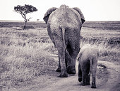 Two elephants, a mother and a calf, walk a dirt path in Serengeti National Park, Tanzania, Africa. Taken September 2015.
