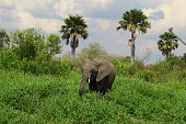 African Elephant eating and feeding on green grasses and flowers with big flapping ears and small tusks, lots of greenery and pretty blue flowers with dry bushes and palm trees in the background, seen