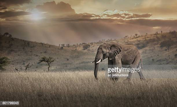 Elephant grazing in savanna field