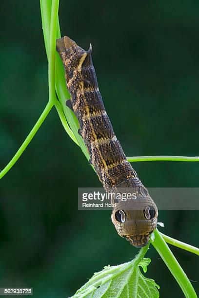 Elephant Hawk-moth -Pergesa elpenor, Deilephila elpenor-, caterpillar, Tyrol, Austria