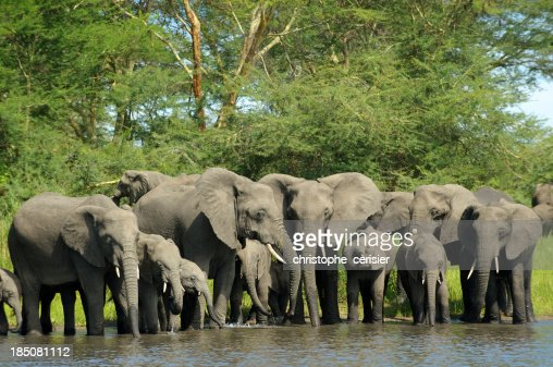 Mandria di elefanti bere sul fiume