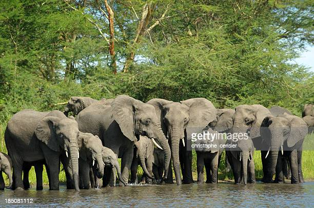 Elephant herd drinking at river