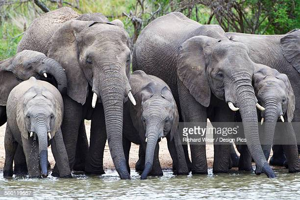 Elephant herd drinking at watering hole located at gomo gomo game lodge, near Kruger National Park