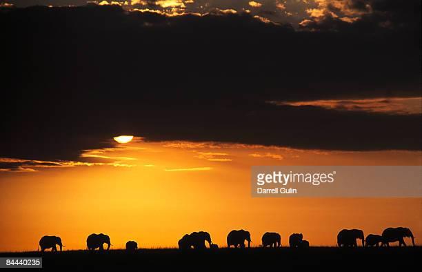 Elephant herd on ridgeline silhouetted sunrise