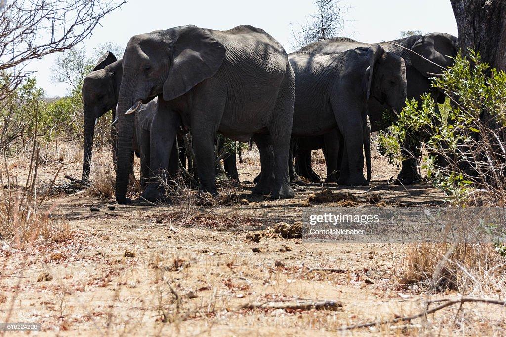 Elephant herd : Bildbanksbilder
