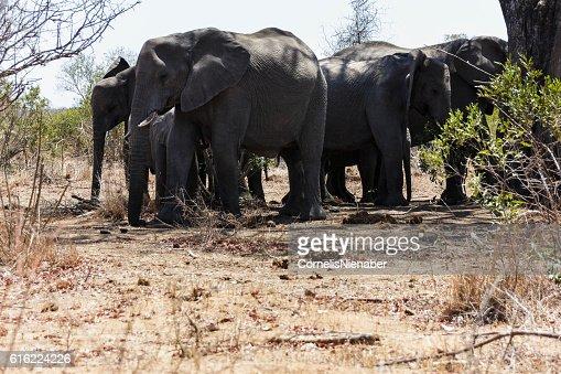 象の一団 : ストックフォト