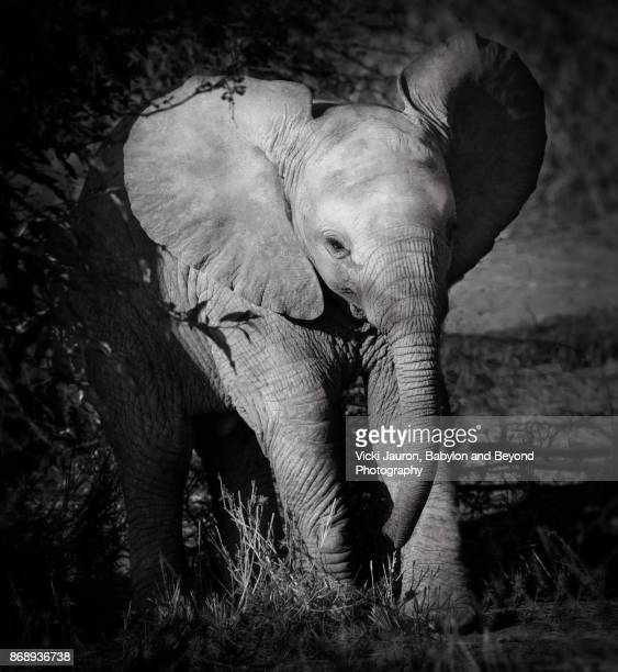 Elephant in Black and White in Laikipia