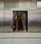 Elephant in office elevator
