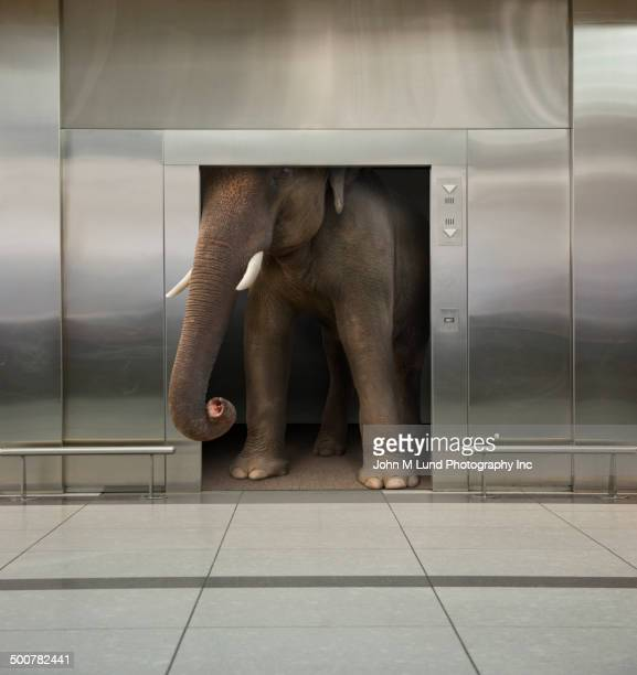 Elephant in office elevator