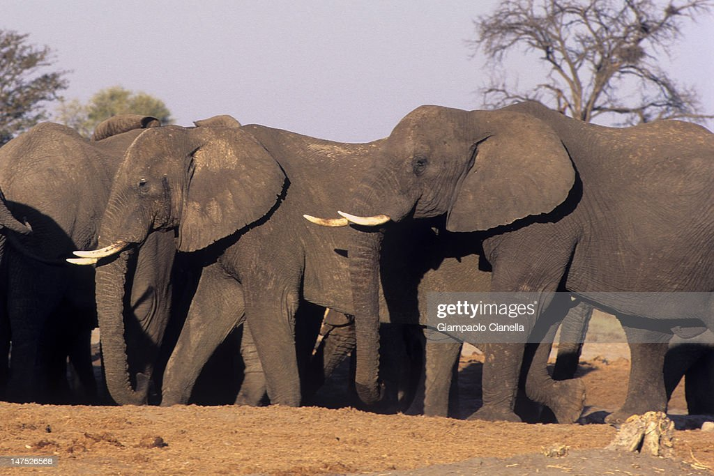 Elephant in Savuti : Stock Photo