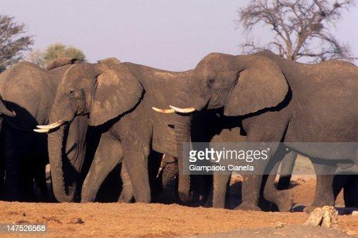 Elephant in Savuti : Stock-Foto