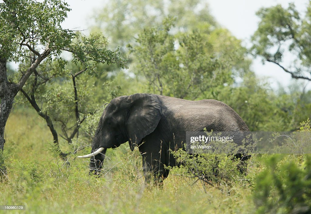 A elephant is pictured in Kruger National Park on February 6, 2013 in Skukuza, South Africa.