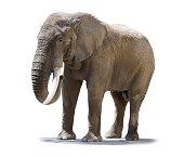 elephant isolated one