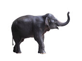 Side view of asia elephant isolated on white background