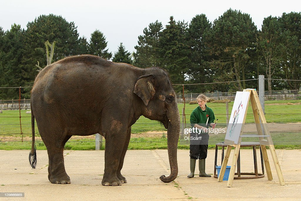 Elephant keeper Elizabeth Callaghan assists Karishma a 13 year old female Asian elephant who paints at an easel in her enclosure at ZSL Whipsnade Zoo...