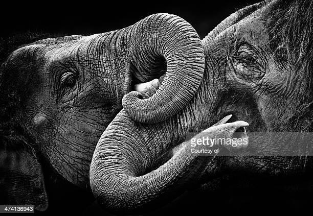 Elephant kiss