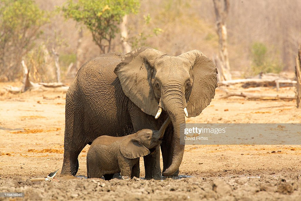 Elephant, Loxodonta africana, and calf : Stock Photo