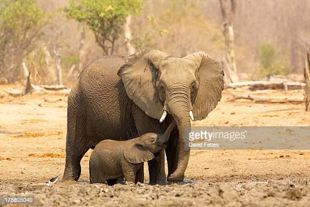 Elephant, Loxodonta africana, and calf
