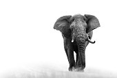 Elephant loxodonta africana big5 safari wildlife game drive Kruger black white