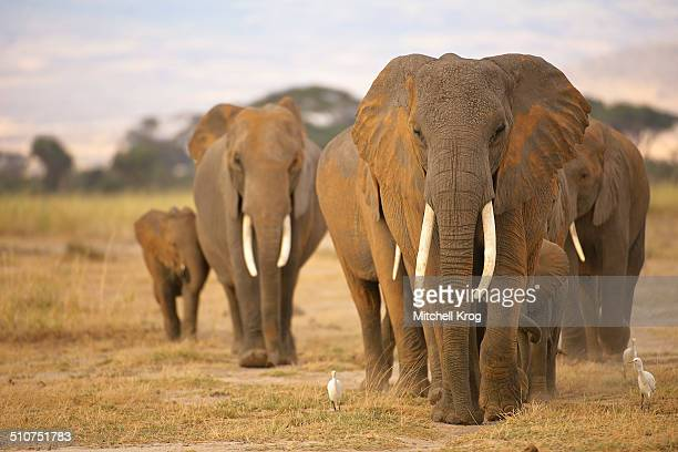 Elephant matriarch and family