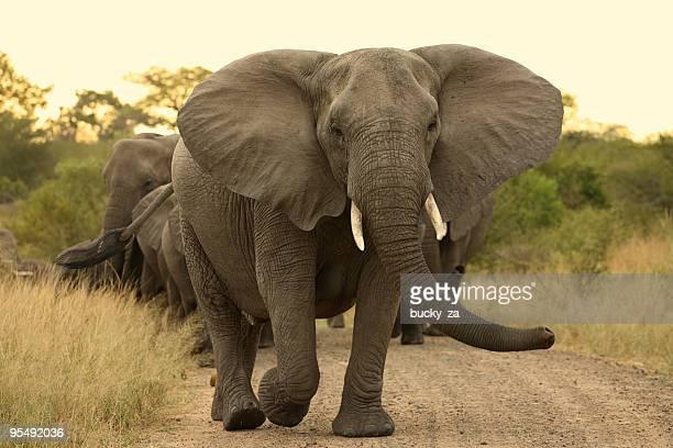 Elefante matriarch locas causa de un rebaño.