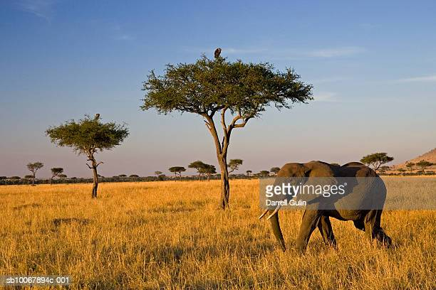 Elephant on plain