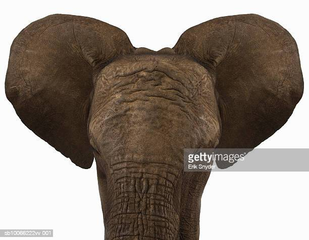 Elephant on white background, front view