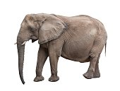 A African elephant on a white background with clipping path.