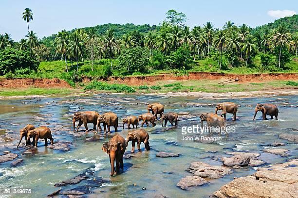 Elephant orphanage at Pinnewala. Sri Lanka