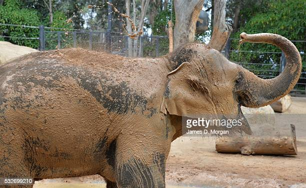 Elephant paints with mud at Melbourne Zoo on April 01 2015 in Melbourne Australia