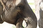 Closeup of elephant face. Curled truck
