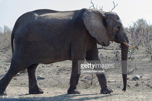 Elephant : Stock Photo