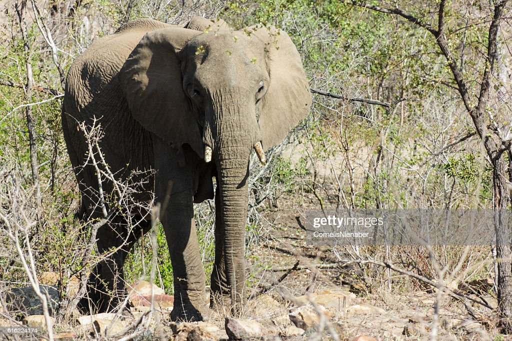 Elephant : Bildbanksbilder