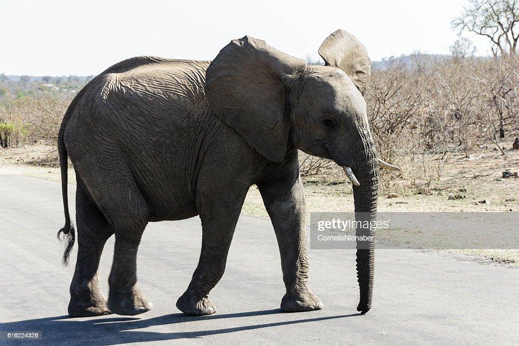 Éléphant  : Photo
