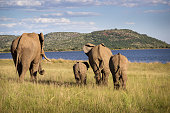 An elephant family heading to the water