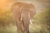 Large elephant bull at sunset