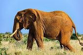 big Elephant in the savannah of Africa