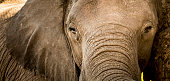 Elephant portrait of eyes, trunk and ears close up