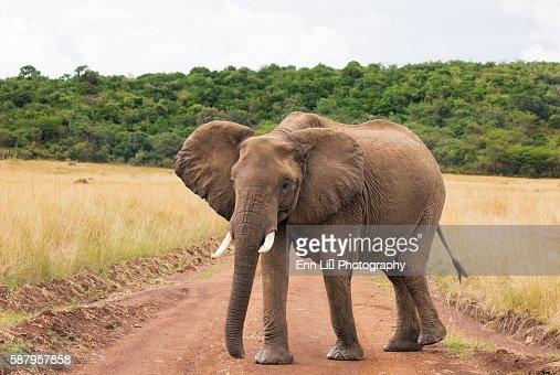 Elephant roadblock