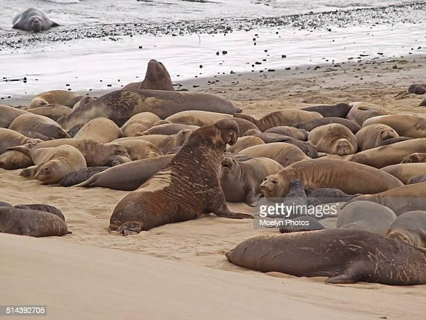 Elephant seal harem