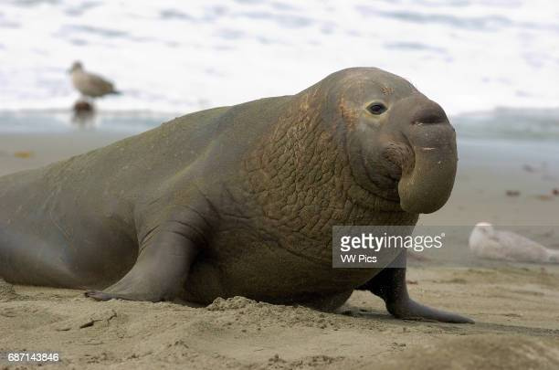 Elephant Seal Male Close Portrait Northern Elephant Seal Piedras Blancas Rookery San Simeon California