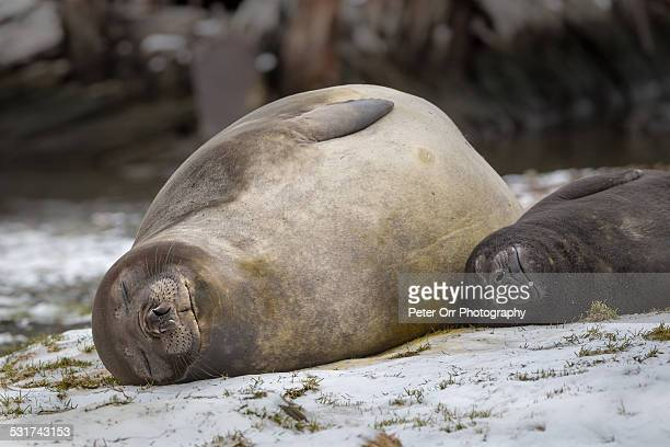 Elephant Seal Mother and Baby