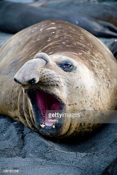 Elephant Seal Opening Mouth