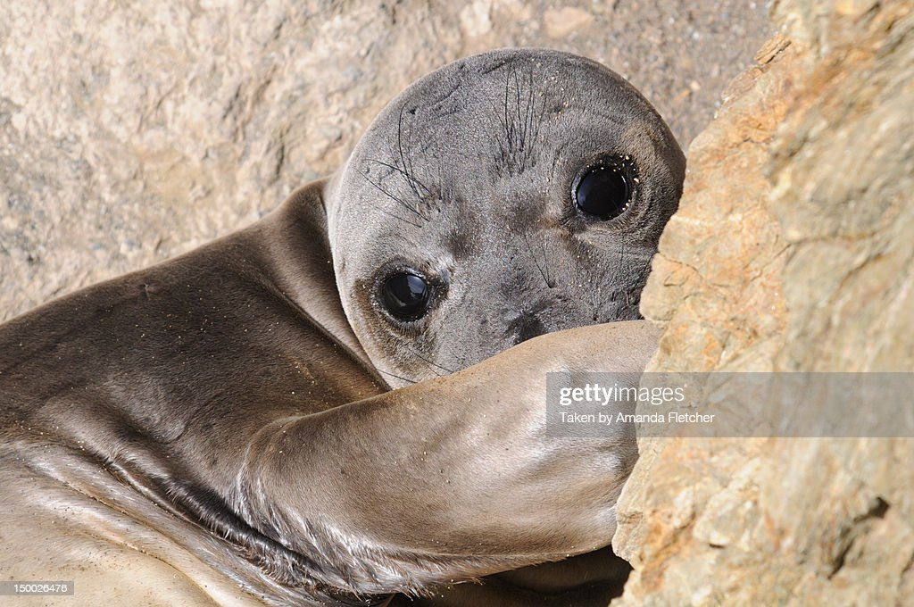 Elephant seal : Stock Photo