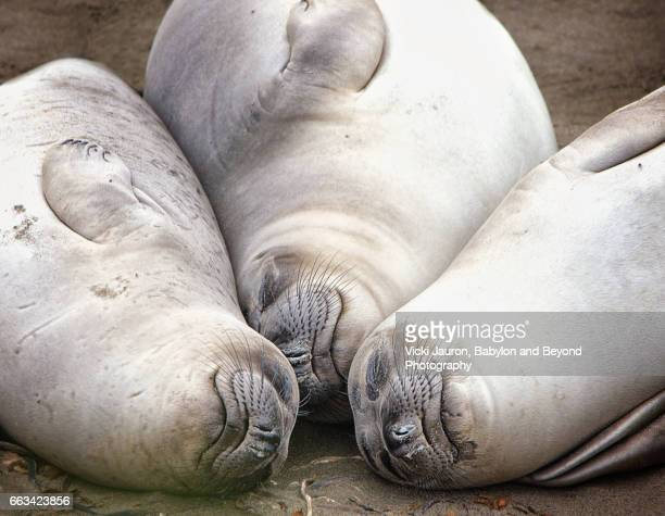 Elephant Seal Three Heads Together