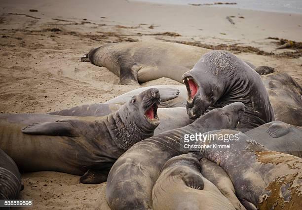 Elephant Seals in Big Sur.